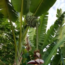 라오스 호텔에서 봤던 바나나꽃