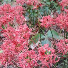 석산(꽃무릇)