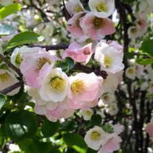 친근한 명자나무꽃도